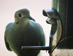 Mourning Dove on thistle feeder