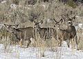Mule Deer Elkhorn 2 myatt odfw (7591218374).jpg