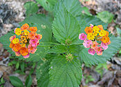 Multi-colored Wild Lantana Camara 2.JPG