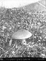 Mushroom (68931).jpg