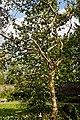 Myddelton House garden, Enfield, London ~ white magnolia 01.jpg
