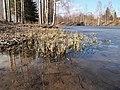 Myllyjärvi shore.jpg