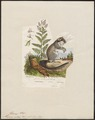 Myoxus nitela - 1700-1880 - Print - Iconographia Zoologica - Special Collections University of Amsterdam - UBA01 IZ20400191.tif