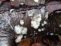 Myxarium nucleatum 106974317.jpg
