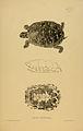 N136 Sowerby & Lear 1872 (clemmys guttata).jpg
