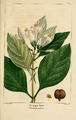 NAS-049 Pinckneya bracteata.png