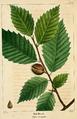 NAS-106 Fagus grandifolia.png