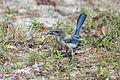 NASA Kennedy Wildlife - Florida Scrub Jay (16).jpg