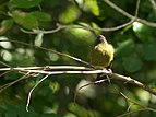 NZ Bellbird, tracking 03.jpg