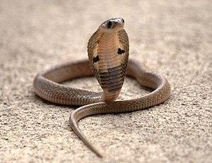 Epidemiology of snakebites - Image: Naja naja juvenile (Karnataka)