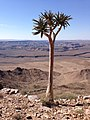 Namibia Fish River Canyon-Quiver Tree.jpg