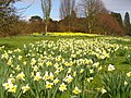 Narcissi by the Arboretum - geograph.org.uk - 1772958.jpg