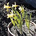 Narcissus eugeniae.jpg
