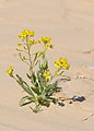 Nasturtiopsis coronopifolia 1.jpg