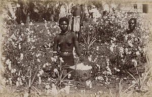Natalia Republic - Natal cotton field (c.1885).