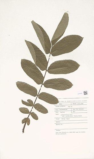Juglans ailantifolia - Image: Naturalis Biodiversity Center L.3711472 Juglans ailantifolia Carrière var. cordiformis (Makino) Rehder herbarium sheet