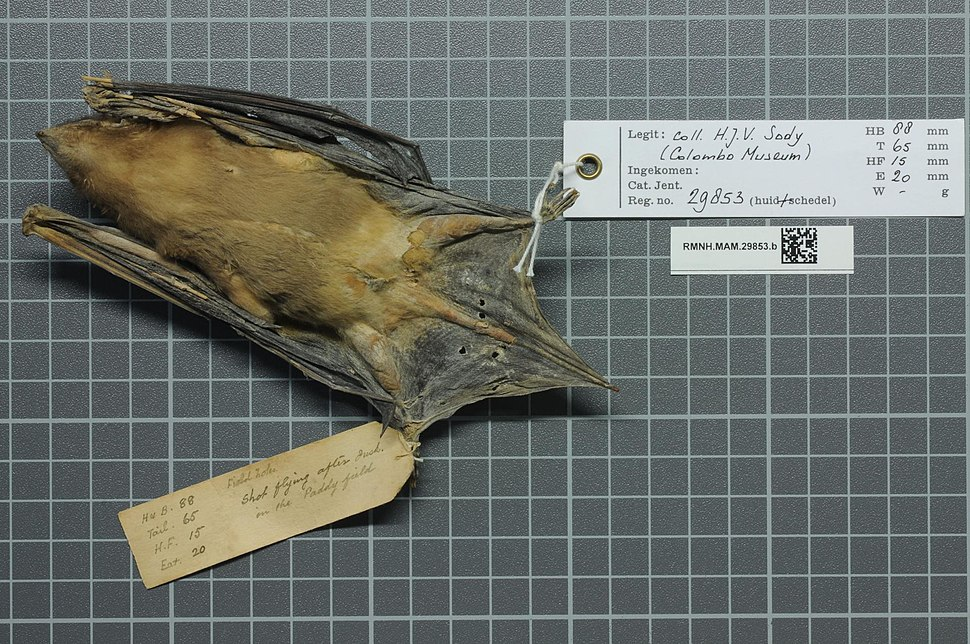 Naturalis Biodiversity Center - RMNH.MAM.29853.b ven - Scotophilus robustus - skin.jpeg