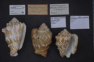 <i>Persististrombus latus</i> Species of gastropod