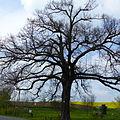 Naturdenkmal Lutherlinde in Gostewitz 1.JPG