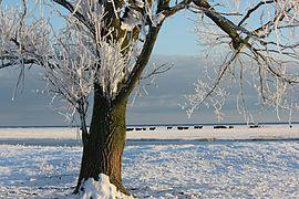 Naturschutzgebiet Schleimündung Silberpappel.jpg
