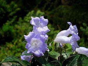 Neelakurinji (Strobilanthes Kunthiana)