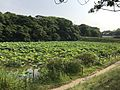 Nelumbo nucifera in north moat of Fukuoka Castle 8.jpg
