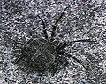 Neoscona.nautica.female.-.tanikawa.jpg