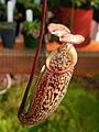 Nepenthes macfarlanei.jpg