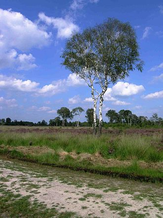 De Groote Peel National Park - A lonesome birch tree in the heath next to a track.