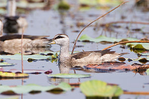 Cotton pygmy goose - Female in Thailand
