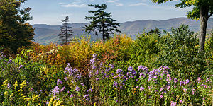 Mount Greylock - New England Aster on Mount Greylock