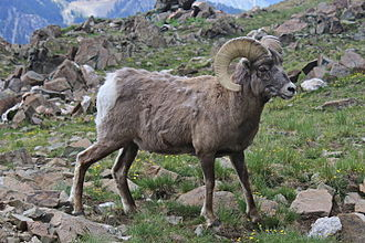 Bighorn sheep - Male (ram), Wheeler Peak, New Mexico