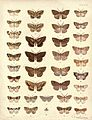 New Zealand Moths and Butterflies (1898) 09.jpg