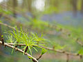 New larch needles (14017284911).jpg