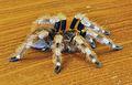 Nhandu coloratovillosus - subadult female 4.jpg