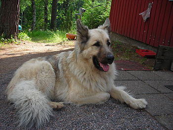 Mixed-breed dog, 2/3 German Shepherd Dog and 1...