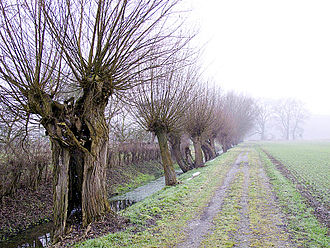 Lower Rhine region - Typical knotted willows of the lower Rhine region