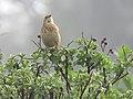 Nilgiri pipit IMG 6289.jpg