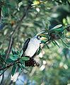 Noisy Miner in Tree.jpg