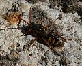 Nomada marshamella (a Cuckoo Bee) - Flickr - S. Rae.jpg