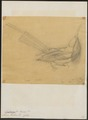 Nyctiornis forsteni - 1700-1880 - Print - Iconographia Zoologica - Special Collections University of Amsterdam - UBA01 IZ16800301.tif
