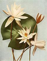 Nymphaea odorata ssp odorata WFNY-057.jpg