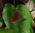 Nymphalidae (24919669544).jpg