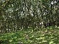 Oak wood, Lee Moor - geograph.org.uk - 1456802.jpg