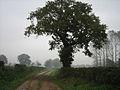Oaks and poplars on Marsh Lane (Track) - geograph.org.uk - 593517.jpg