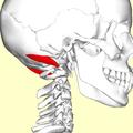 Obliquus capitis superior muscle07.png