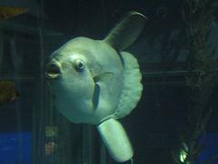 Ocean.Sunfish.Osaka.JPG