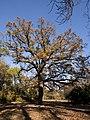 Odessa Botanic Garden Autumn Oak.jpg