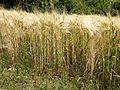 Odontites vernus sl7.jpg