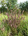 Odontites vulgaris 230807a.jpg
